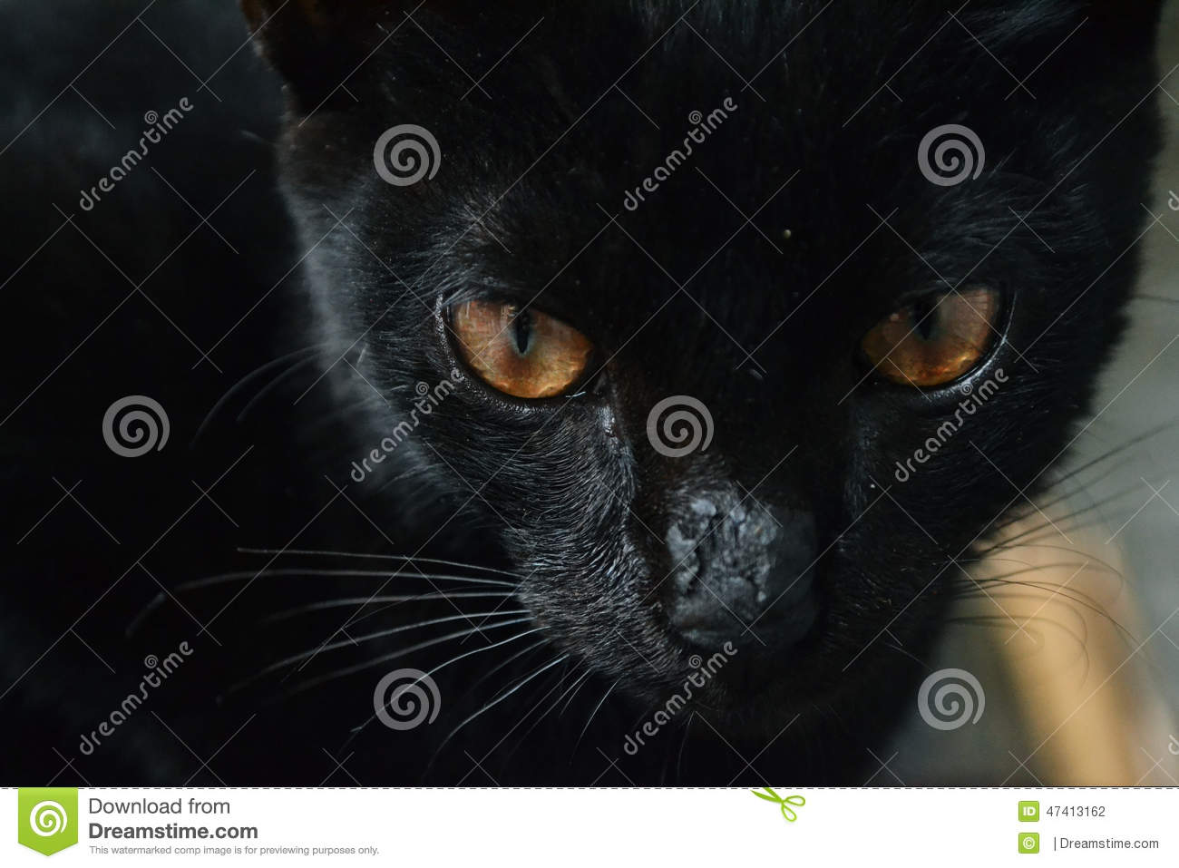 Black Cat Sharp Eye Stock Photo.