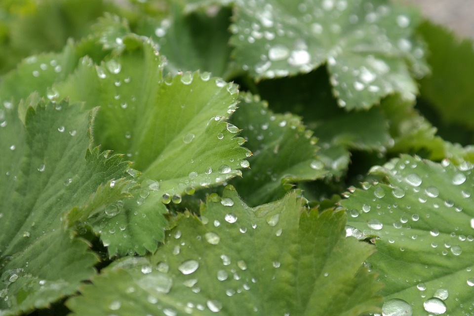 Free photo: Sharp Lappiger Lady'S Mantle.