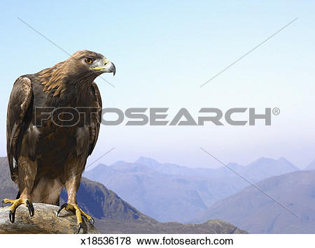 Pictures of Golden Eagle Perched on a Rock, Against a Mountain.