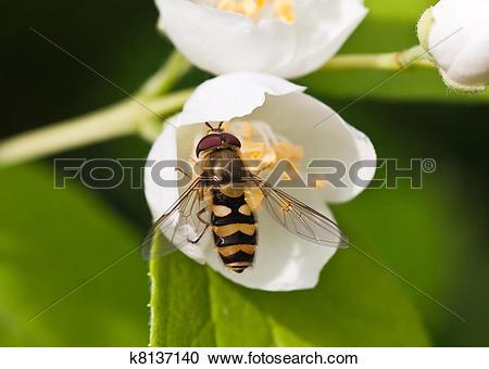 Stock Photography of Eristalis tenax on Jasmine flower. Small.