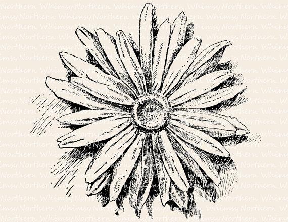 Daisy Illustration Vintage Flower Clip Art Image Shasta.
