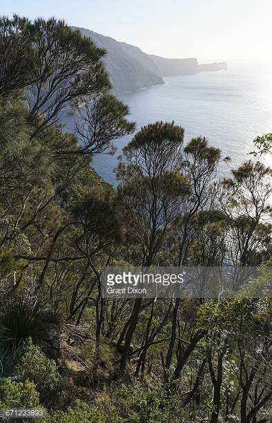 Casuarina Tree Stock Photos and Pictures.