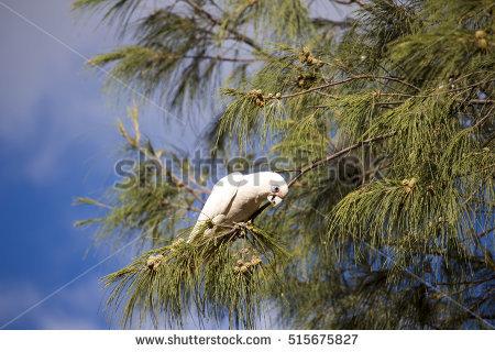 Casuarina Tree Banco de imágenes. Fotos y vectores libres de.
