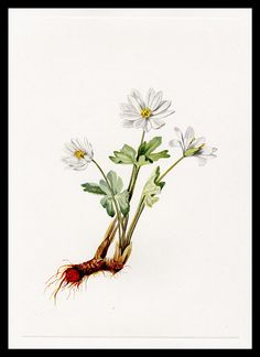 trillium flower drawing.