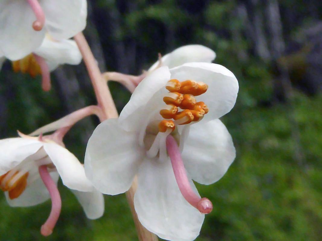 Sheathlike petals clipart #2