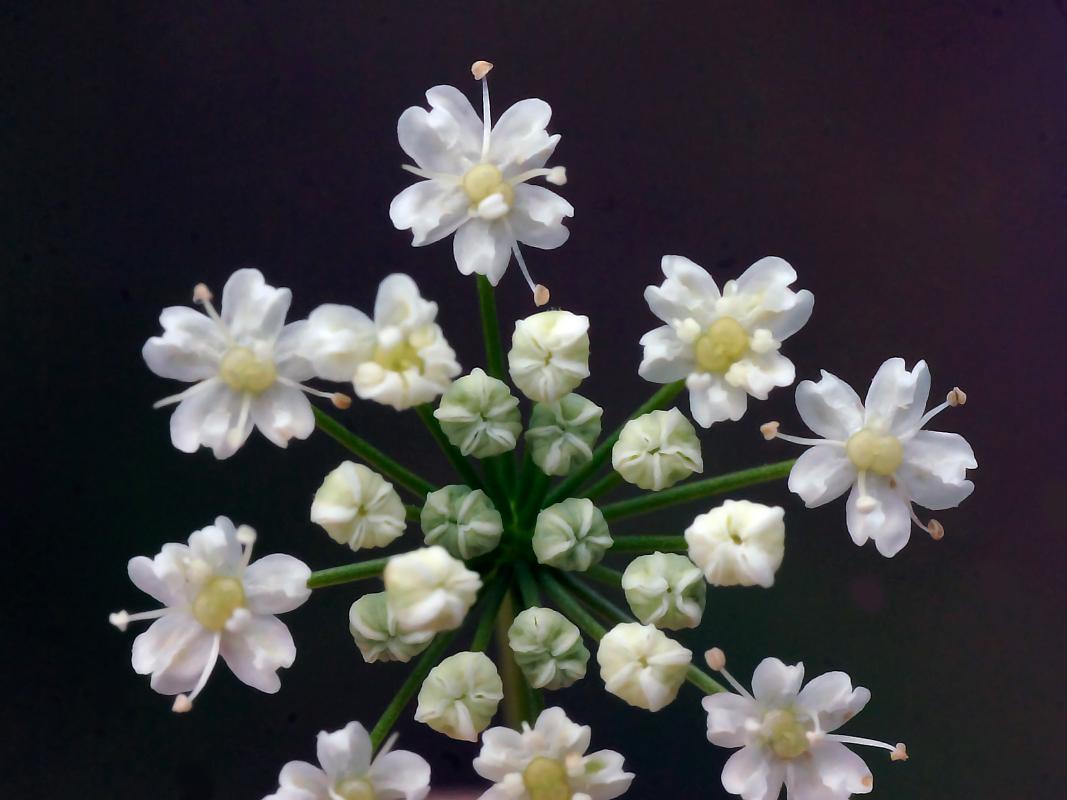Burnet Saxifrage, Pimpinella saxifraga.