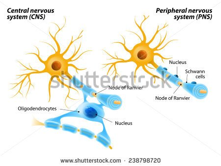 Kids clipart myelin sheath.
