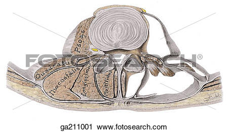 Clipart of Transverse section of back muscles at level of lumbar.