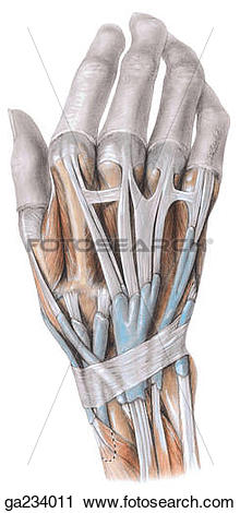 Clipart of Synovial sheaths on dorsum of wrist. ga234011.
