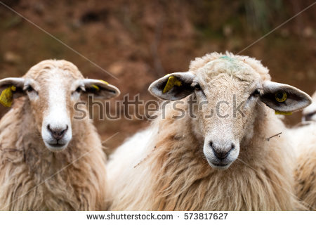 Sheep Group Stock Images, Royalty.