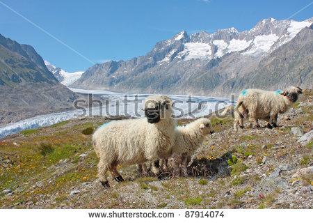 Mountain Alps Sheep Stock Photos, Royalty.