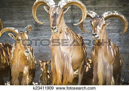 Stock Photograph of alpine, group of mountain goats, Family.