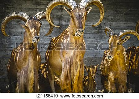 Stock Photography of alpine, group of mountain goats, Family.