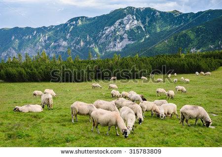 Sheep Herd Stock Photos, Royalty.