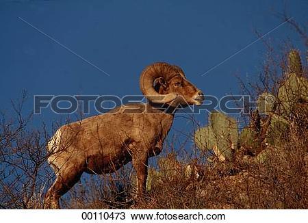 Stock Photo of Ovis, Bighorn Sheep, Mountain Sheep, Mexico.