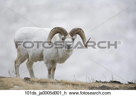 Stock Photo of Dall Sheep ram on Sheep Mountain, Kluane National.