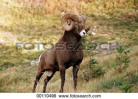 Pictures of Ovis, Bighorn Sheep, Mountain Sheep, Juniors, Canada.