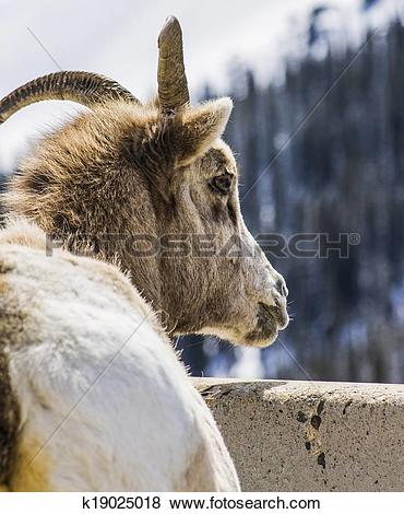Pictures of Big Horn Sheep Mountain Goat k19025018.