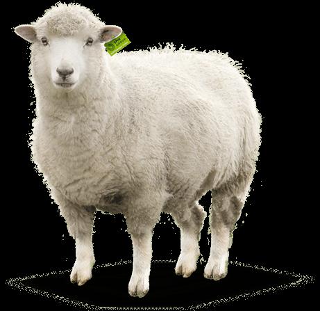 Mammal,Vertebrate,Sheep,Sheep,Livestock,Cow.