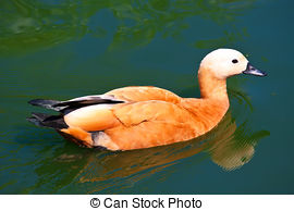 Stock Images of Ruddy Shelduck, known as the Brahminy Duck.