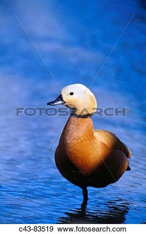 Stock Photograph of Ruddy Shelduck (Tadorna ferruginea) male.