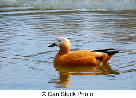 Picture of roody shelduck (Tadorna ferruginea) on water at day.