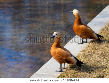 Ruddy Shelduck Ruddy Shelduck Red Duck Stock Photo 183937142.