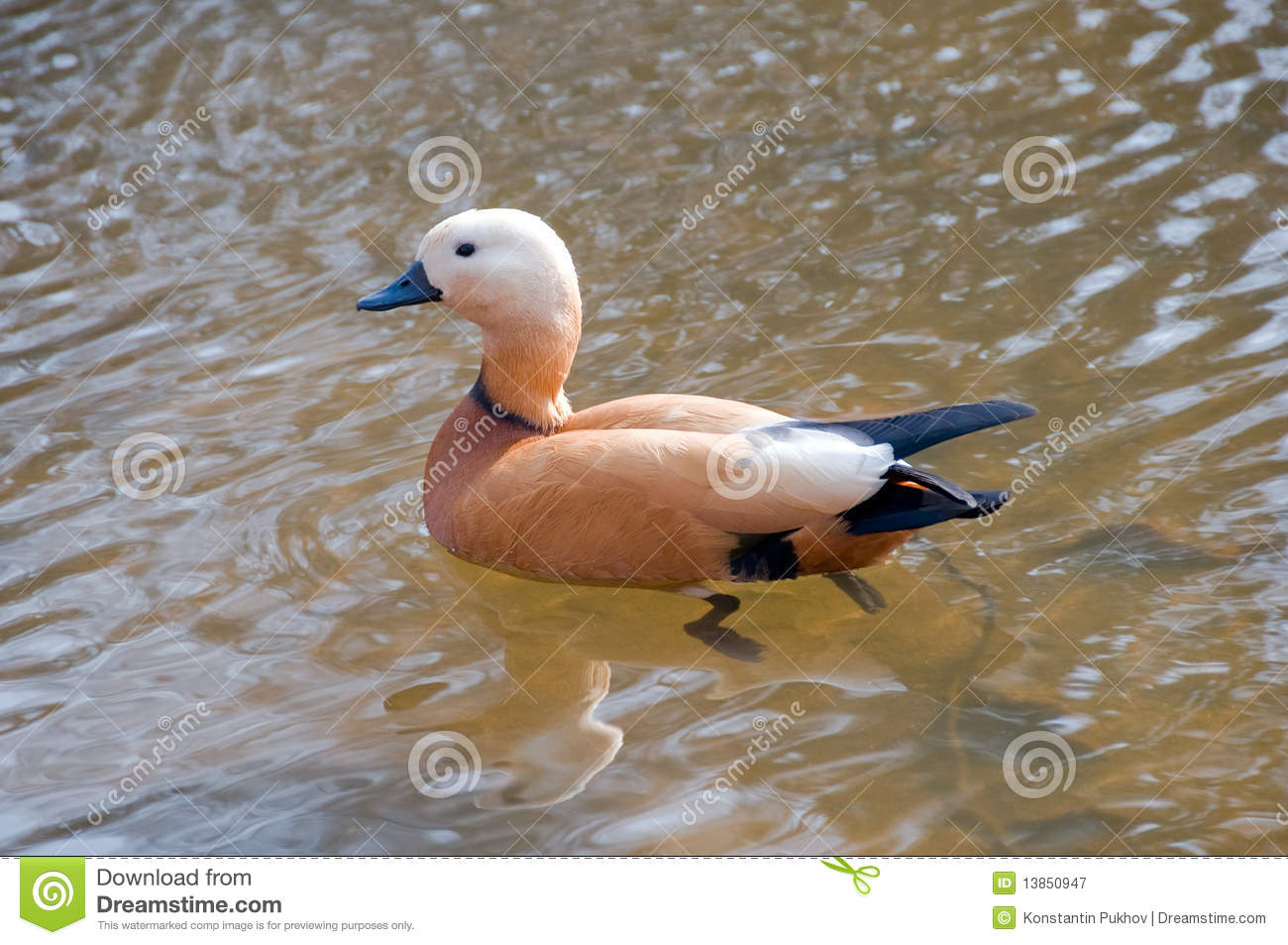 Ruddy Shelduck (Tadorna Ferruginea) Stock Photo.