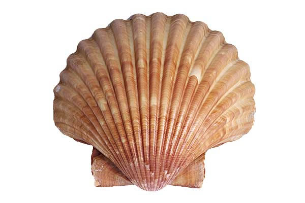 The Sea Shell: Design Motif.