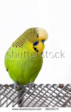 Shell Parakeet Stock Images, Royalty.