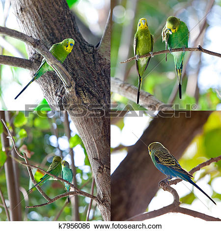 Stock Images of Budgerigars , shell parakeet on branch k7956086.