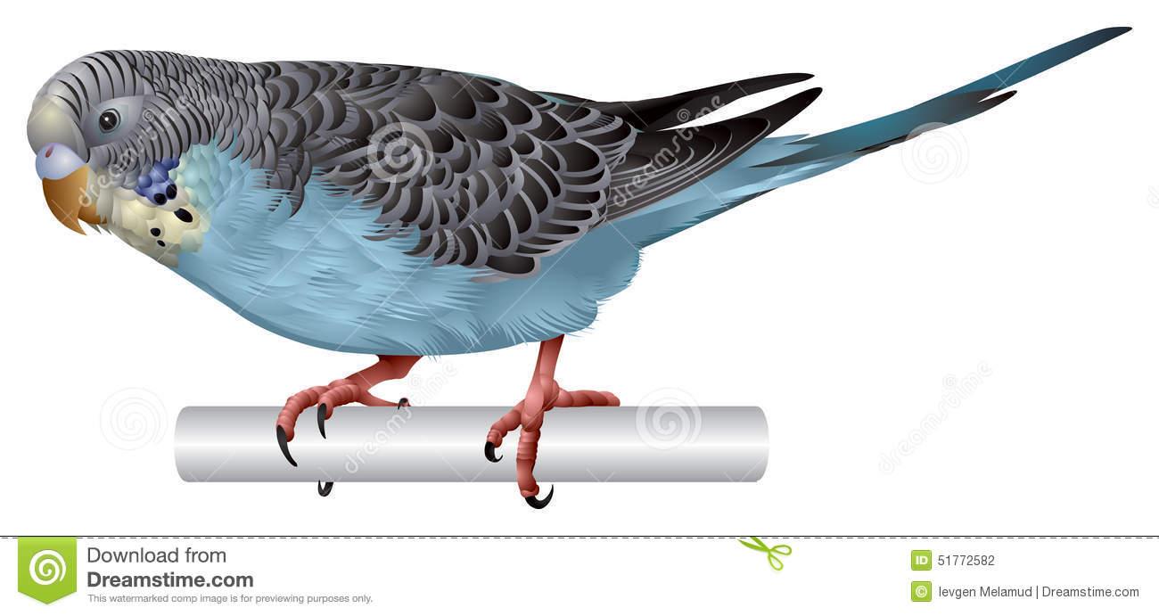 Parakeet Stock Illustrations.