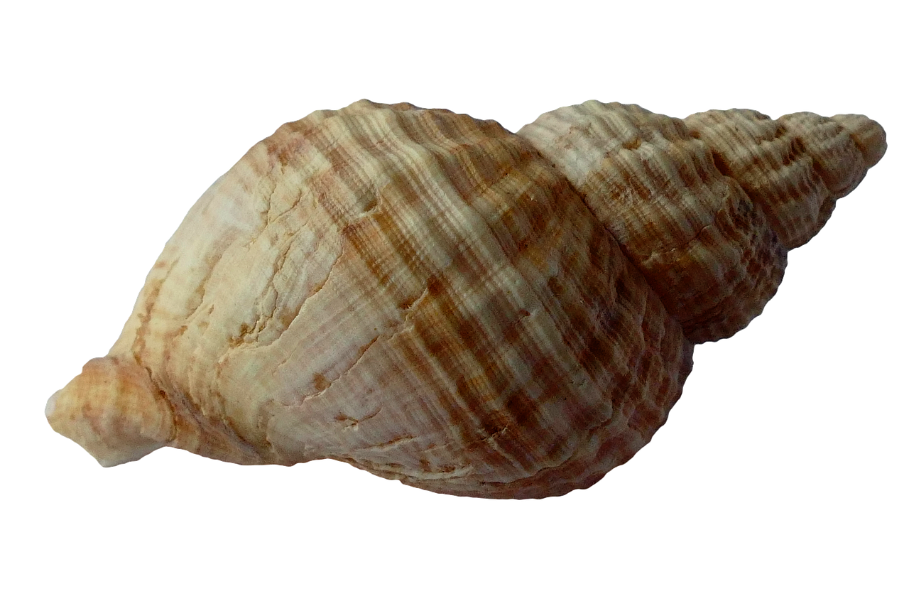 Sea Shell Clam Ocean Sea Shells PNG.