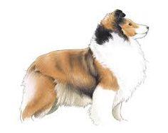 Shetland Sheepdog.