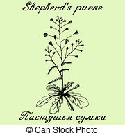 Shepherd's purse Stock Illustration Images. 13 Shepherd's purse.
