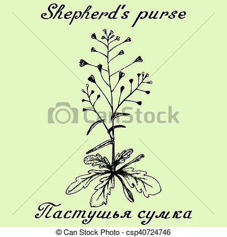 Drawing of Shepherd's purse hand drawn sketch botanical.
