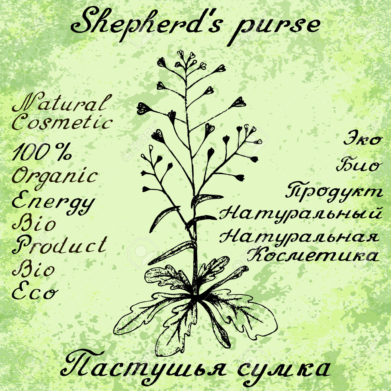 Shepherd's Purse Drawn Sketch Botanical Illustration. Illustation.