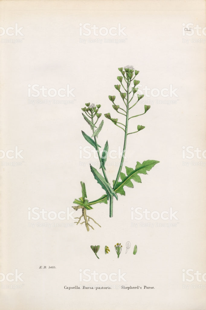 Shepherds Purse Capsella Bursapastoris Victorian Botanical.