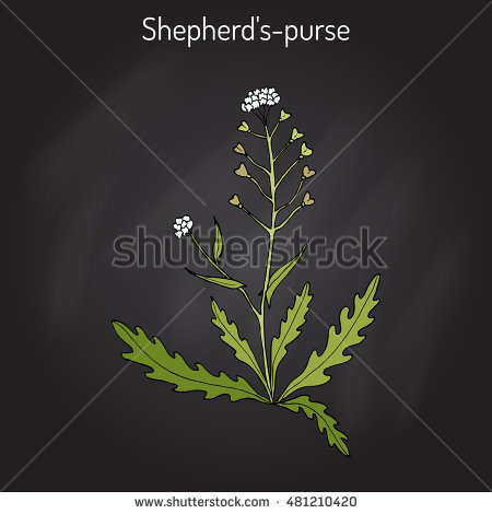 Shepherds Purse Stock Photos, Royalty.
