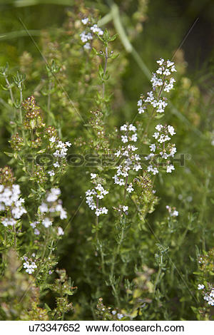 Stock Photo of Thyme Plant Growing In Herb Garden u73347652.