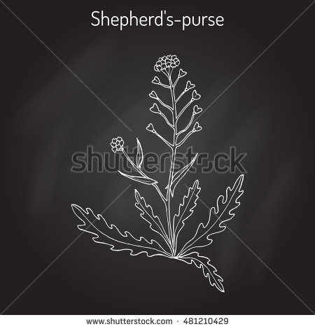 Shepherds Purse Stock Vectors, Images & Vector Art.