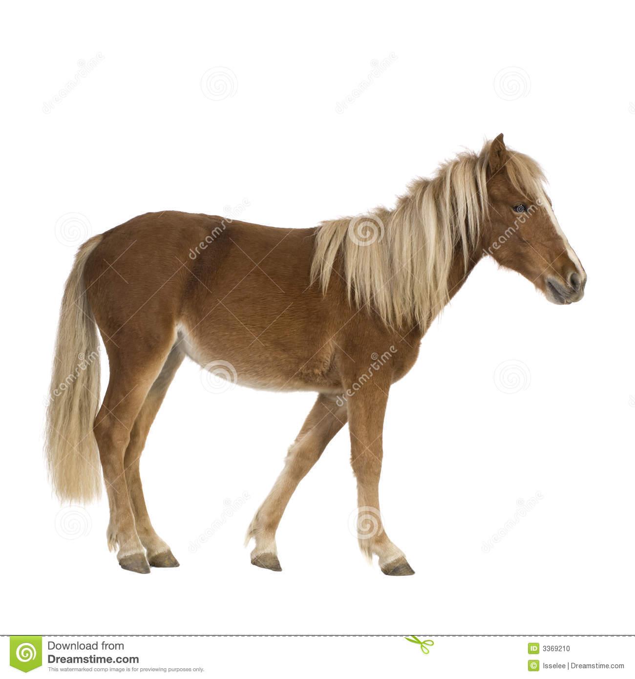 Shetland Pony (2 Years) Stock Photo.
