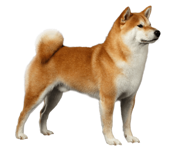 Shiba Inu Png (109+ images in Collection) Page 1.