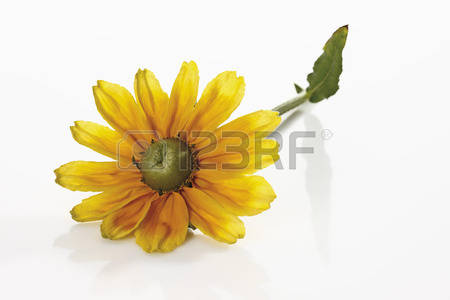 Blackeyedsusan Images & Stock Pictures. 57 Royalty Free.
