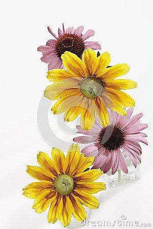 Rudbeckia Echinacea Royalty Free Stock Photography.
