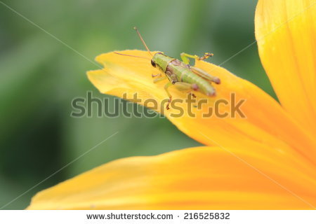 Daisy Grasshopper Stock Photos, Royalty.