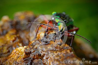 Shiny Green Beetle Royalty Free Stock Photography.