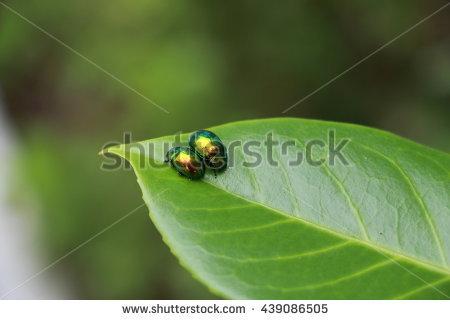 Bronze Beetle Stock Photos, Royalty.