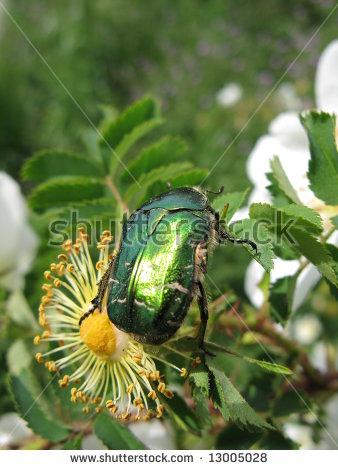 Metallic Beetle Stock Photos, Royalty.