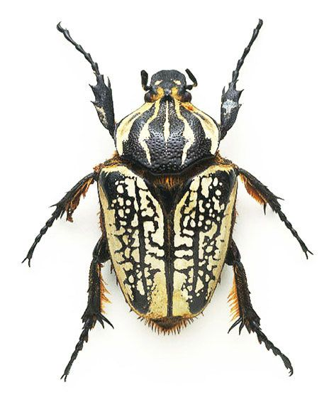 1000+ images about beetles on Pinterest.